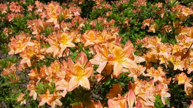 rhododendrons1