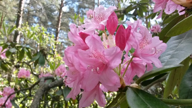 rhododendrons5