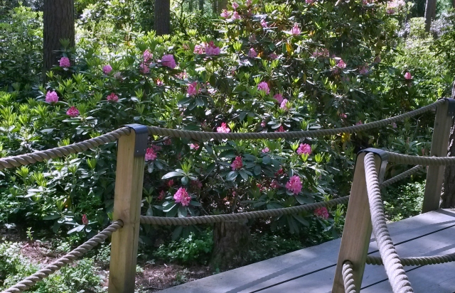 rhododendrons7