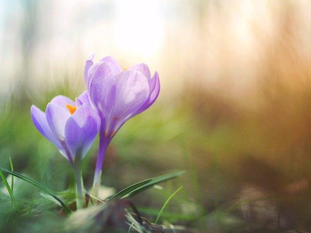 Purple crokus flowers, violetit krookukset