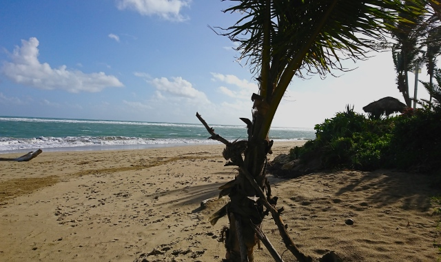 Cabarete beach and palm tree